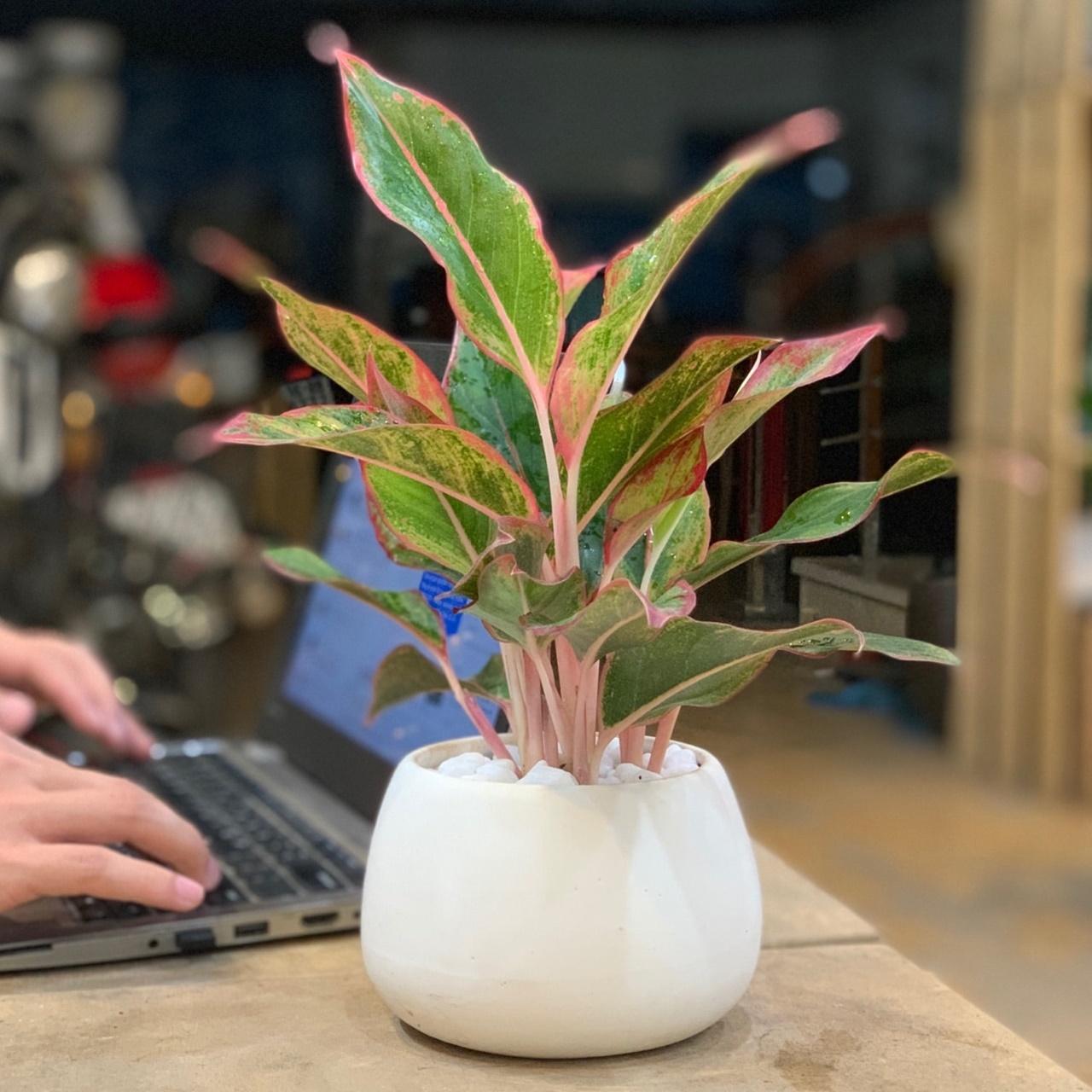 bài trí cây phú quý trên bàn làm việc cho người mệnh hỏa